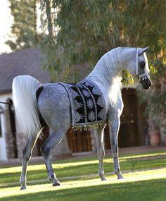 *Baahir El Marwan (Marwan Al Shaqab x HB Bessolea) Supreme Champion Halter Horse Unanimous Grand Champion Senior Stallion Unanimous Champion 6 & 7