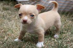Chihuahua is a very amazing dog. So now that you are interested in adopting or buying Chihuahua, check first the list of Chihuahua colors and markings Teacup Chihuahua, Chihuahua Puppies, Cute Puppies, Cute Dogs, Chihuahuas, Tiny Puppies, Teacup Puppies, Maltipoo Dog, Purebred Dogs
