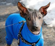 Fotos e Preços da Raça de Cachorro Xoloitzcuintli
