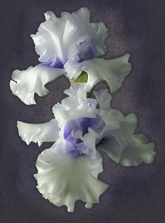 "Tall Bearded Iris ""Wintry Twins"" Iris flower-The word iris is Greek for 'rainbow'. The iris flower meaning are faith, wisdom, peace of mind, friendship and hope. Purple iris is symbolic of wisdom and compliments, yellow iris symbolizes passion, blue iris symbolizes hope and faith while white iris symbolizes purity. Irises may also express admiration and courage. February is a month of romance and iris is a fitting symbol."