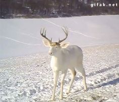 wisconsin-white-deer-surprised-by-his-own antlers falling off