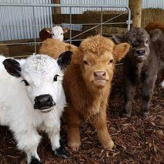 Mini Cows~                                                                                                                                                                                 More