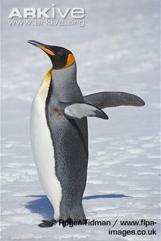 King penguin flapping wings, side view - View amazing King penguin photos - Aptenodytes patagonicus - on Arkive Penguin Pictures, King Penguin, Side View, Creatures, Mother Nature, Animals, Image, Wings, Drawing