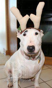 Bull Terrier or Santa's Reindeer, you be the judge!