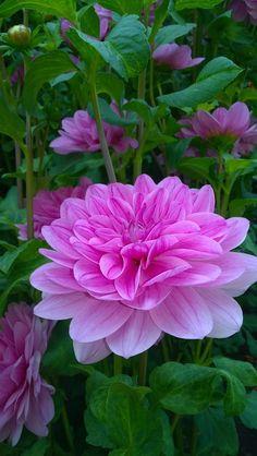 Beautiful Rose Flowers, Wonderful Flowers, Pink Flowers, Beautiful Flowers, Purple Flowers Wallpaper, Hibiscus Plant, Purple Garden, Dahlia Flower, Bulb Flowers