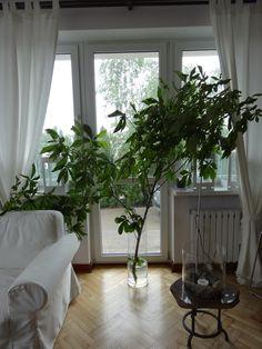 Ratowany kasztanowiec w naszym Living Room ;)