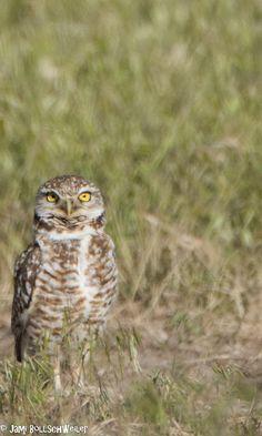 Burrowing owl bird photography