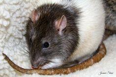 Rat - Rune by Joanne Laws