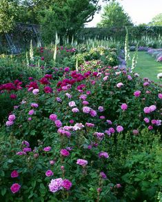 Rose border  with Rosa 'Pelisson', 'De Rischt', 'Compte de Chambord', and white and red Paeonies of garden origin, June