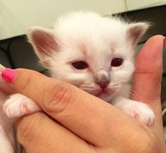 Little Blue is the smallest one! #minivaniljer #minivaniljerna2016 #birma #birman #breeder #catsofinstagram #chokladochvanilj #kitten #pinkalicious #welovecats #we_love_cats