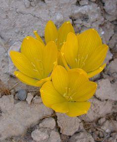 Sternbergia clusiana (Amaryllidaceae) blooming in the desert habitat, Negev, Israel