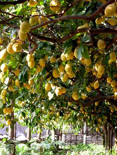 Limoneto Grow Lemons as an Arbor Cover over a Pergola or Iron Frame Italian Summer, Italian Garden, Beautiful Fruits, Beautiful Gardens, Beautiful Places, Beautiful Pictures, Covered Pergola, Fruit Garden, Plantation