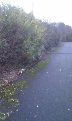 Hedge before reduction Gawsworth rd