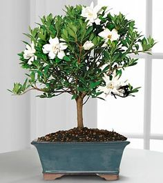 Blossoming Abundance Gardenia Bonsai - 8-inch