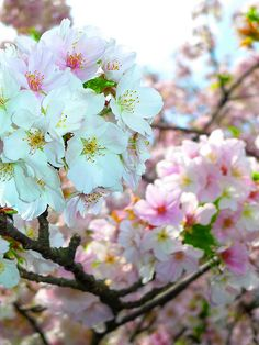 ✯ Tokyo Sakura ...