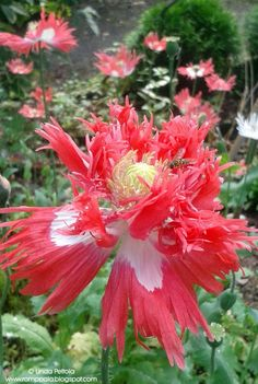 Poppy - Papaver somniferum var. laciniatum 'Pink Fizz* Romppala - Lindan pihalla: Ihanuuksia