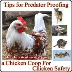 The Homestead Survival | Tips for Predator Proofing a Chicken Coop For Chicken Safety | http://thehomesteadsurvival.com                                                                                                                                                                                 More