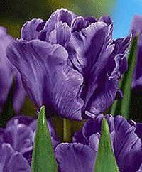 """50 x """" Blue Parrot """" - Spring Flowering Tulip Bulbs Parrot Tulips, Purple Tulips, Tulips Flowers, Love Flowers, Planting Flowers, Pretty Roses, Beautiful Roses, Outdoor Plants, Garden Plants"""