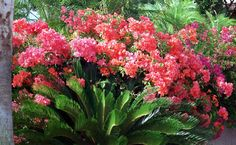 mexican bougainvillea images | Bougainvillea sp. [ jpeg ] - Cultivated, from Maui, Hawaii. Known as ...