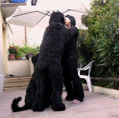 News Black Russian Terrier, Macaroni, News, Macaroons