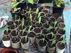 Chez Mitsouko au CP, une liste de bonnes idées pour les plantations en classe