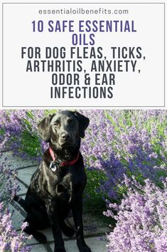 10 Safe Essential Oils for Dogs and Recipes for Dog Fleas Ticks Itching Gelenkentzündung Anxiety Odor Ear Infections and Better Health Dog Safe Essential Oils, Essential Oil Diffuser Blends, Arthritis, Dog Itching, Ticks On Dogs, Dogs Ears Infection, Easential Oils, Doterra Oils, Oils For Dogs