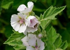 The marshmallow plants are upright perennial herbs. When planting marshmallow plants from a seed, beginning the germination process by stratifying the seeds.  #GardeningandLandscape