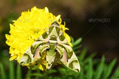 Hawk moth on marigold flower ...  Daphnis, Oleander, abdomen, animal, antennae, army, bug, butterfly, close, creature, critter, entomology, fauna, flower, gardinia, green, habitat, hawk, hawk-moth, insect, invertebrate, life, macro, moth, natural, nature, nerii, sphingidae, thorax, up, wild, wildlife, wing