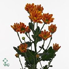 Chrysanthemum Santini Lunetta Orange