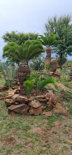 Encephalartos Longifolius Cycad Blue Drought Resistant Thorny Succulent Water Wise For Rare Plant and Xeric Plant Collectors