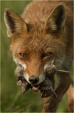 Red Fox by Ingrid Lamour Wildlife Photography, Animal Photography, Fuchs Baby, Smooth Fox Terriers, Fox Images, Creepy Drawings, Pet Fox, Mule Deer, Wild Dogs