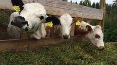 Suomalaisia alkuperäiskarjavasikoita!  Finnish cattle breeds