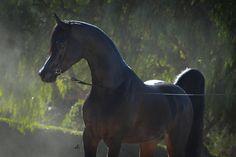Art Dekko TT :: Arabian horses of Aria International - Arabian horses, stallions, mares, colts, fillies, for sale