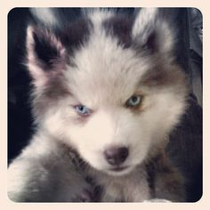 no one can resist a puppy. especially one with the sickest eyes ever Mans Best Friend, Best Friends, Puppies With Blue Eyes, Homeless Dogs, Puppy Love, Cats And Kittens, Husky, Wolf, Coral