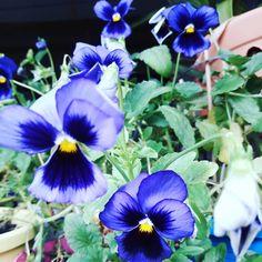 Desejo dias floridos para vcs!!! Amor perfeito! Amo demais!  #amomuitotudoisso #quintal #horta #garden #jardim #horta #vasos #amigos #amores #flores #love #sun #calor #alegria #fé #esperança #faith #amor #love #flowers #amorperfeito #flor