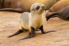 La Galerie - Christine et Michel Denis Huot photographes animaliers  -  - Otarie à fourrure du Cap - 27466 - sea lion pup