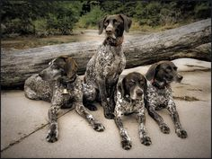 Group IV: Photo by Photographer David Wisse - photo.net German Shorthaired Pointer, Hunting Dogs, Four Legged, Pointers, Puppy Love, Short Hair, Wire, David, Puppies