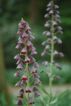 Fritillaria persica Narrow, bell-shaped flowers of rich plum purple, almost black, alternate up the stem, which can range from 1 to 4ft tall. They dangle above glaucous gray-green leaves. Plant this Fritillary with Narcissus 'Stainless' or 'Angelique' Tulips to provide a light backdrop for the spectacular dark bloom spikes. Fritillaria persica is a garden heirloom that dates to 1573.