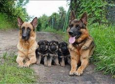 German Shepherd Family
