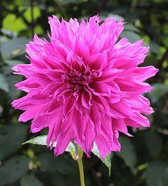 Bo Lei (Medium 6-8 inch blooms)
