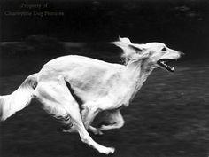 Saluki in motion