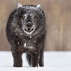 Photo by Black timber wolf in the snow.Photo by Black timber wolf in the snow. Beautiful Creatures, Animals Beautiful, Der Steppenwolf, Animals And Pets, Cute Animals, Wild Animals, Baby Animals, Wolf Hybrid, Nature Photography