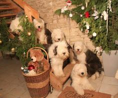 Merry Christmas Old English Sheepdogs