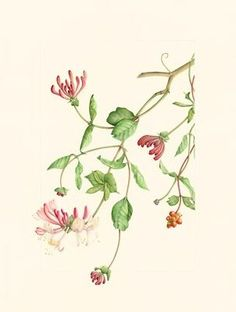 Lonicera periclymenum - Honeysuckle, by Bindy Kent