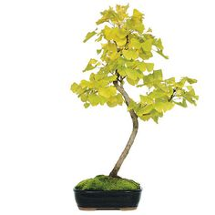 Add The Ginkgo Bonsai Tree to your home decor as it has been used for centuries in the world of medicine, and it is still believed to enhance one's memory. The unique color and gently-ribbed leaves give the tree a look and feel that only the Ginkgo can provide! The foliage will brighten to an extremely rich, golden yellow during the fall – which is when this tree is exceptionally pleasant. See more bonsai trees for sale at www.nurserytreewholesalers.com!