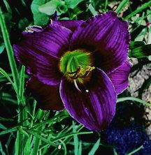 Daylily Barbary Corsair | 1/2 Price Daylily Deals | Web Specials | Roots & Rhizomes