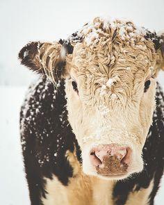French Country Farm Cows Farmhouse Decor Winter Snow Rustic Warm Sepia Brown White Simple Style Farm Country, Fine Art Print via Farm Animals, Animals And Pets, Cute Animals, Beautiful Creatures, Animals Beautiful, Country Farm, French Country, Country Decor, Rustic Decor