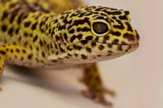 Leopard Gecko Amphibians, Reptiles, Crested Gecko, Geckos, Lizards, Livestock, Frogs, Turtles, Yoga Poses