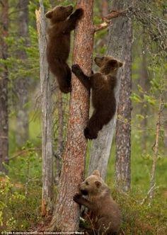 Três pequenos ursos de uma reserva finlandesa tiveram uma lição da mãe de como subir às árvores.