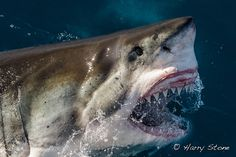 thesharkives: great white (by Harry Stone)